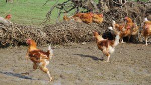 LaProvincia, le poulet romain pour tous et depuis toujours